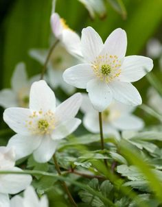 1 White Anemone nemorosa (Wood Anemone) Roots to Plant in Your Garden Small Purple Flowers, Exotic Flowers, Summer Flowers, Fresh Flowers, Yellow Roses, Pink Roses, Garden Bulbs, Shade Garden, Wood Anemone