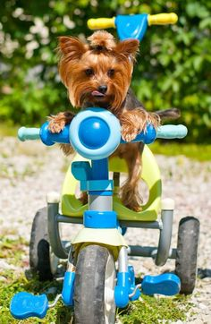 Do you think I will get big enough Mommy to ride my bike? Love Zoey #yorkshireterrier