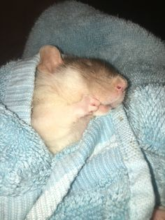 I iz sucking my fum! Animals And Pets, Baby Animals, Cute Animals, Types Of Rats, Funny Babies, Cute Babies, Les Rats, Funny Hamsters, Fancy Rat