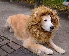 DIY lion mane for your golden retriever Dog Lion Costume, Diy Dog Costumes, Dog Halloween Costumes, Costume Ideas, Puppy Costume, Jaco, Chien Halloween, Halloween Puppy, Diy Halloween
