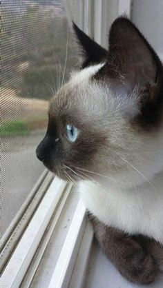Siamese Kittens Are Cats Nocturnal Siamese Kittens, Cute Cats And Kittens, Most Beautiful Cat Breeds, Beautiful Cats, Chat Oriental, Baby Animals, Cute Animals, Wild Animals, Gato Animal