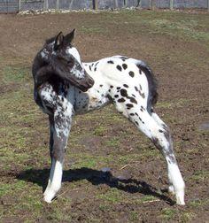 Palisades Appaloosas Standing, Foalsby - Nuggets Super Shado,1999 Leopard Stallion - PA Shado Dancer aka Abby