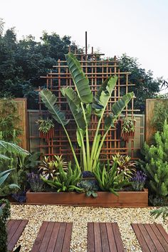 """A traveller's palm provides vertical drama in this tight space, bookended by the octopus-like forms of Myers asparagus ferns. Greg transformed the bare [Colorbond](http://www.colorbond.com/