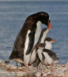 Gentoo Penguin raising three chicks _MG_0087