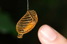 Urodid Moth cocoon, it looks crocheted. Amazon Rainforest Animals, Amazon Animals, Unique Animals, Nature Animals, Moth Cocoon, Moth Caterpillar, Beautiful Bugs, Amazing Nature, Paludarium
