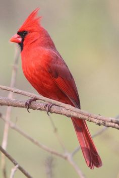 Photo by Brendan Klick Pretty Birds, Beautiful Birds, Animals Beautiful, Cute Animals, Cardinal Birds, Red Cardinal Tattoos, Vogel Tattoo, Northern Cardinal, County Park