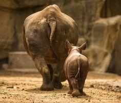 mother and calf black rhino - Google Search