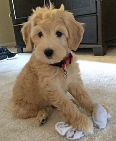 I want a Goldendoodle!