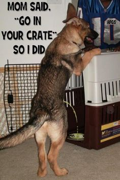 """Mom said """"Go in your Crate"""" - so I did! http://www.sweetshepherdrescue.com.au/"""