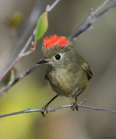 Ruby Crowned Kinglet   (photo by Jerry Ting)