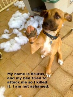 My Name is Brutus and my bed attacked me so I killed it.  I am not ashamed and this is my second appearance on Dog Shame as I am so delightfully naughty and my owners love me.