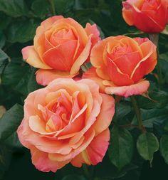 ~Grandiflora Rose 'Anna Promise'