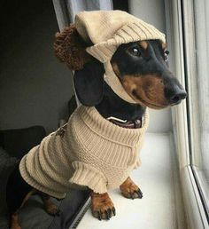 Dachshund clothes are difficult to find. As you may already know, the dachshund breed has a very odd body. Find Dachshund clothes that actually fit. Dachshund Funny, Dachshund Puppies, Dachshund Love, Funny Dogs, Cute Puppies, Cute Dogs, Dogs And Puppies, Daschund, Baby Animals