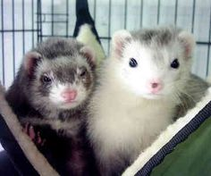 Ferrets- have always wanted one but ave always heard thy are way more curious than cats and we already have 4 of those lol.
