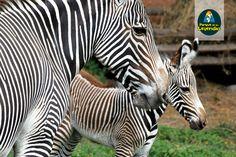 Cebra de Grevy. Llamada también cebra real, es la especie de cebras más grande. Tiene orejas grandes y sus rayas son estrechas y puede resistir buen tiempo sin beber agua. Habita las llanuras secas abiertas y la sabana arbustiva cerca de cuerpos de agua. Se alimenta de pastos. ¿Sabías qué? La cebra puede alcanzar 60 km/h al correr.