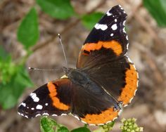 Red Admirals are popping up all over the country! Click through to Jill's blog post to learn more.