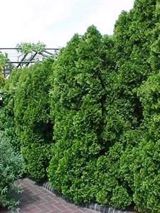 46 Best Evergreen Trees Images Evergreen Trees