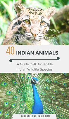 Indian Animals: A Guide to 40 Incredible Indian Wildlife Species Wildlife Of India, Wildlife Safari, Indian Animals, African Animals, Indian Wolf, Wolf Photography, Clouded Leopard, Asian Elephant, Wild Dogs