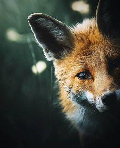 Animals 362539838755074659 - Alexis Rateau, l'art de sublimer la faune en photo Cute Baby Animals, Animals And Pets, Funny Animals, Photos Of Animals, Fuchs Baby, Wild Animals Photography, Wildlife Photography, Abstract Photography, Fox Pictures