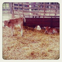 Two little calves..too cute!!<3