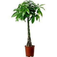 Kastanjasutipuu IKEA PACHIRA AQUATICA, Pflanze, Glückskastanie
