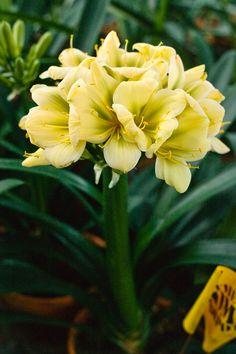Clivia miniata, (TK Yellow x Hirao) x Hirao Green Flower.  Colorado Clivia's plant number 1975C.