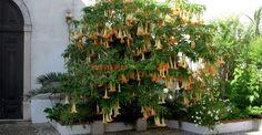 Trompeta îngerilor în Portugalia Angels, Green, Plant