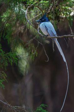 Asian Paradise Flycatcher Pretty Birds, Love Birds, Beautiful Birds, John Grogan, Flycatchers, Bird Wings, Marine Life, Bird Feathers, Blue Bird