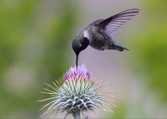 Black Chinned Hummingbird and Thistle Greeting Card for Sale by Surasit Khamsamran Pretty Birds, Love Birds, Beautiful Birds, Animals Beautiful, Cute Animals, Exotic Birds, Colorful Birds, Photos Colibri, Hummingbird Photos
