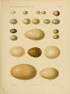 Vögel ... - Biodiversity Heritage Library