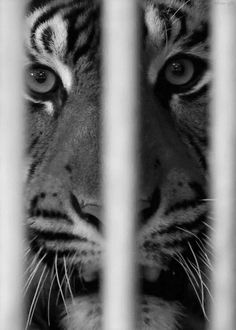 AND THE TIGER WITHIN MY SOUL REMAINED CONSTANT BY SOME SLIM CHANCE WE WOULD SOON MEET