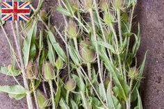 British prickly teasels at New Covent Garden Market - August 2015
