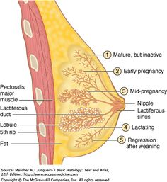 Human Body Anatomy, Human Anatomy And Physiology, Learn Biology, Ovarian Follicle, Histology Slides, Embryonic Development, Medical Mnemonics, Mammary Gland, Med Student