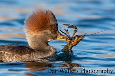 Female hooded merganser eating crayfish