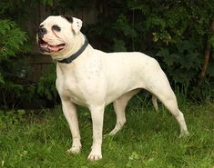FEMALES - American Bulldog and shorty bull puppies breeder American Bulldogs, Bulldog Breeds, Pitbulls, Puppies, Female, Pet Dogs, Cubs, Pit Bulls, Pitbull