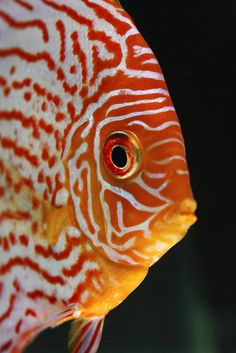 Discus - One of the favorites for a freshwater aquarium Discus Aquarium, Discus Fish, Freshwater Aquarium Fish, Betta Fish, Fish Fish, Underwater Creatures, Underwater Life, Ocean Creatures, Colorful Fish