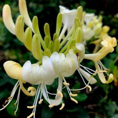 Buy honeysuckle Lonicera periclymenum Scentsation (PBR): Delivery by Crocus Honeysuckle Plant, Honeysuckle Cottage, Soul Collage, Aquatic Plants, Garden Planning, Creative Inspiration, Spring Time, Garden Plants, Flora