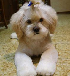 Sam my dog Lhasa Apso