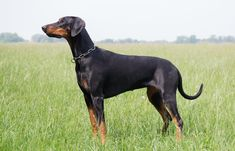 Curious about the fastest dog breeds in the world? Let's talk about it. There are many fast animals in the world – from wild cats (like Cheetahs) to Dogs and many more. Red Doberman Pinscher, Mini Pinscher, Dalmatian Breed, Handmade Dog Collars, War Dogs, Different Dogs, Dogs For Sale, Dog Breeds, Dogs And Puppies
