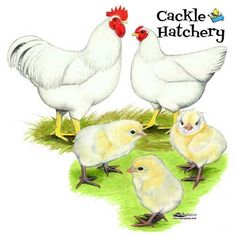Buy White Plymouth Rock Chicks, White Plymouth Rock Chickens for sale, White Plymouth Rock Chicken Images Pictures