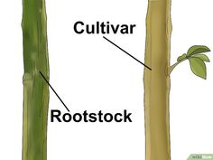 How to Graft a Tree. If you like a tree's fruit and want more of it, your best option may be grafting. This is the only way to guarantee the fruit will come out the same.