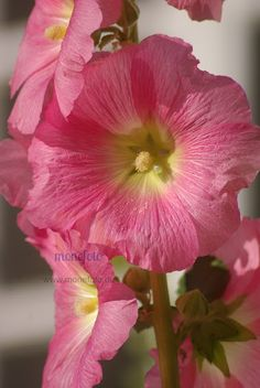Zarte Farbe der Stockrose. Fotografie Simone Sevenich: Schneckenalarm vs Blütenpracht
