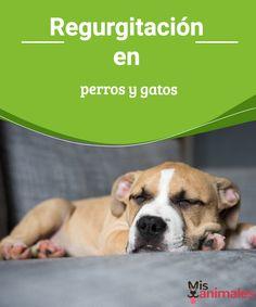 Regurgitación en perros y gatos - Mis animales  A continuación te vamos a contar todo sobre la regurgitación en los perros y gatos, las causas, los síntomas y por supuesto el tratamiento a seguir.
