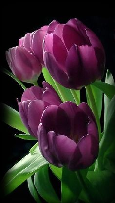 ✯ Deep Purple Tulips