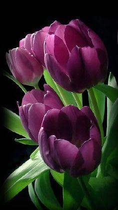 ✯ Deep Purple Tulips