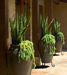 Sansevieria underplanted with cascading sedum. Amazing impact!