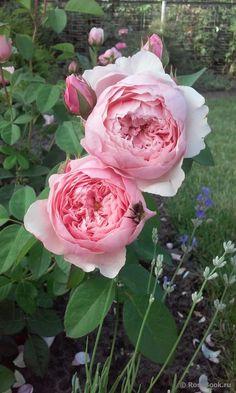 The Alnwick Rose