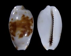 Photo of Bistolida goodallii fuscomaculata for sale from Marshall Islands