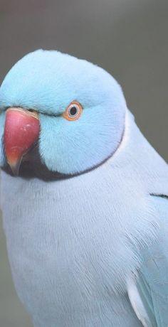 A cute blue parrot. eagle owls of paradise birds Most Beautiful Birds, Pretty Birds, Cute Birds, Beautiful Pictures, Exotic Birds, Colorful Birds, Exotic Pets, Cute Creatures, Beautiful Creatures