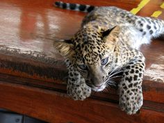 baby leopard by elliptic curve, via Flickr